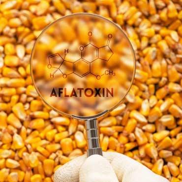 مایکوتوکسین یا سموم قارچی چیست